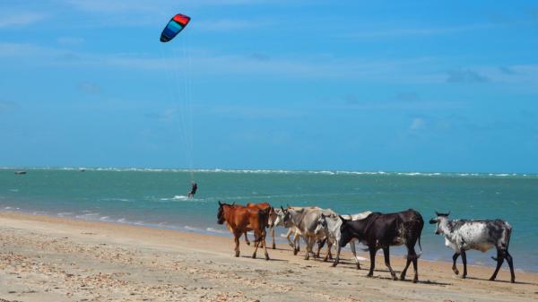 Kitesurfen Brasilien mit Kühen am Strand